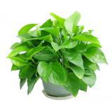 植物盆栽室内绿萝垂吊绿植净化空气吸甲醛四季常青